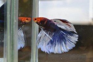 Criação de Peixes Ornamentais