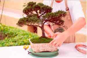 Técnicas de cultivo de bonsai