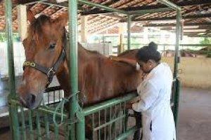 Auxiliar de veterinário de animais de grande porte
