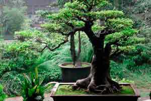 Paisagismo com bonsai