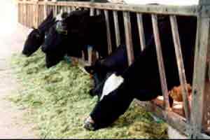 Manejo Alimentar de Bovinos de Leite